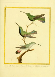 Gravures_oiseaux_Buffon_680_-_colibri_de_saint_domingue