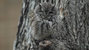 _50908978_owl_camouflage