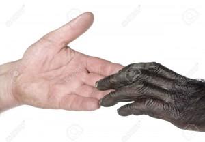 5570005-Mains-de-l-homme-et-le-singe-de-jonction-Mixed-Breed-entre-Chimpanz-et-Bonobo-20-ans-devant-un-fond--Banque-d'images
